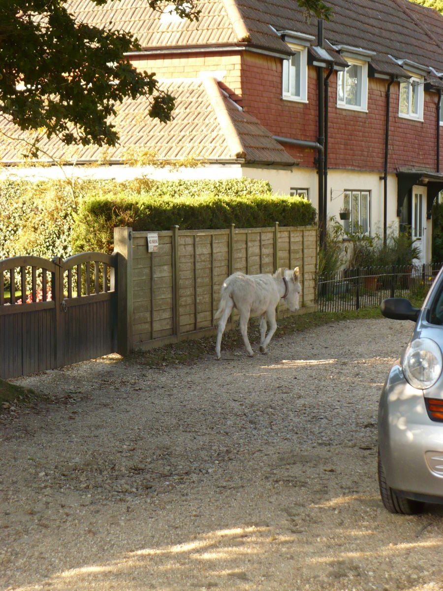 One of the New Forest ponies that wander freely