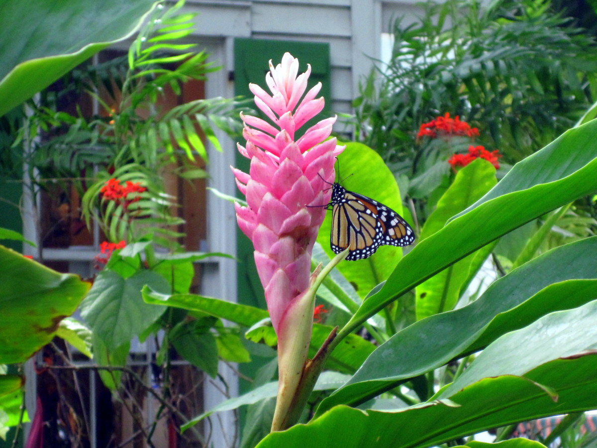 A butterfly on a bromeliad