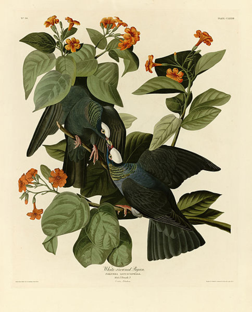 Audubon's White-Crowned Pigeon
