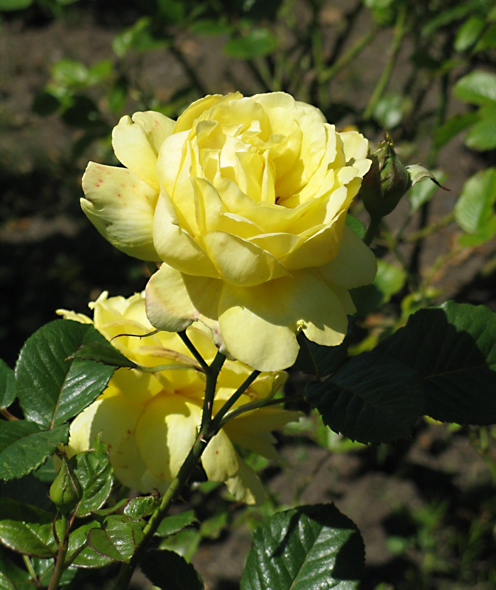 A yellow rose in the rose garden