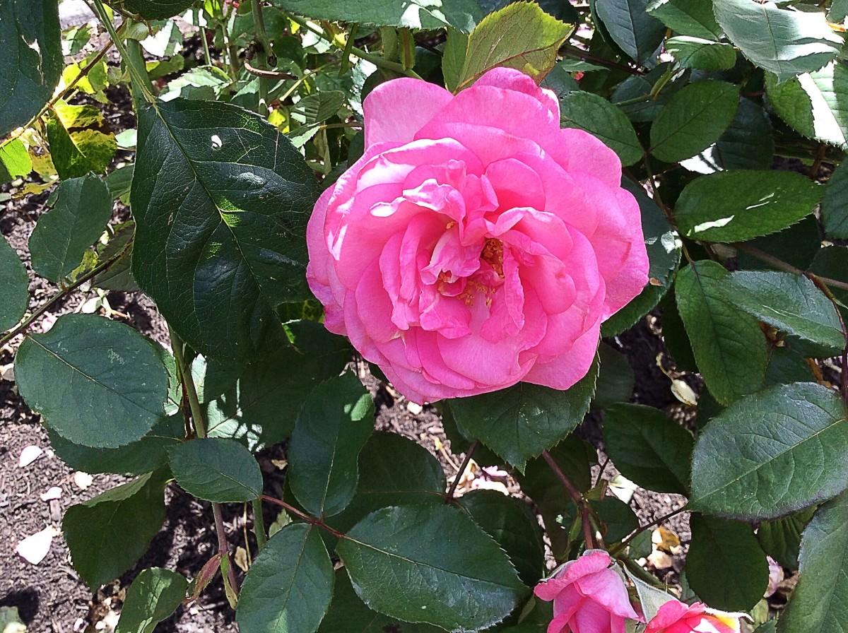 A deep pink flower in the garden