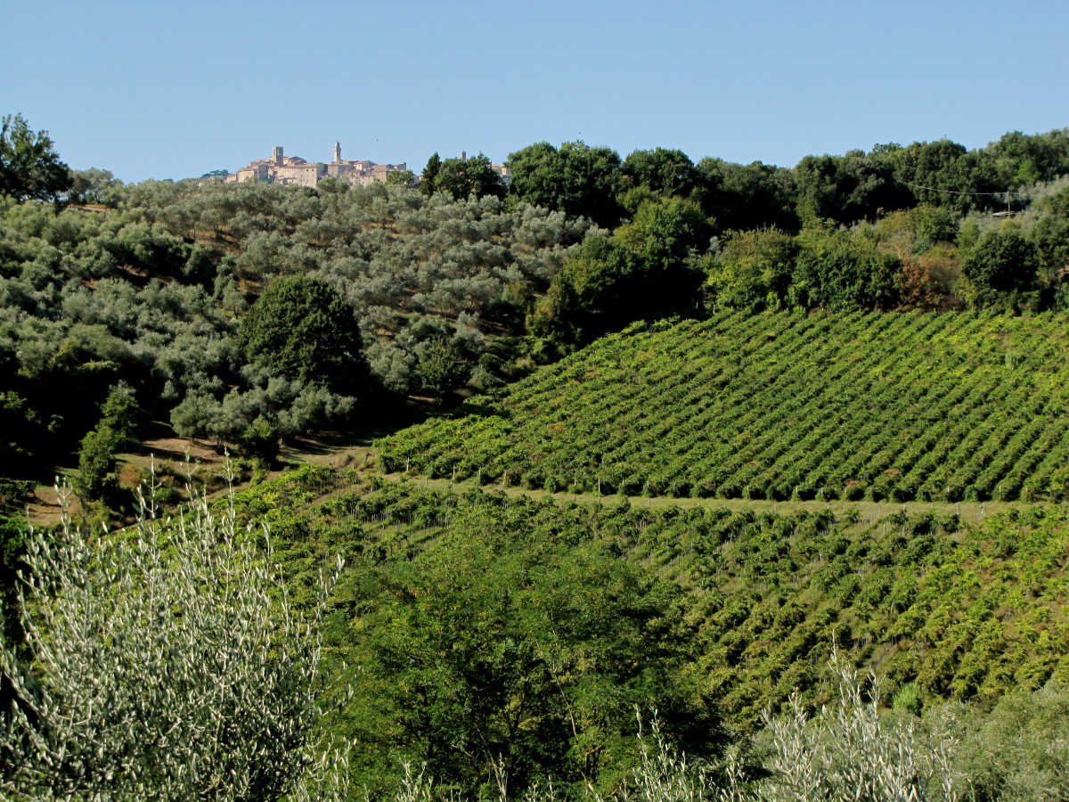 Vineyards and olive trees with Montepulciano in the distance.