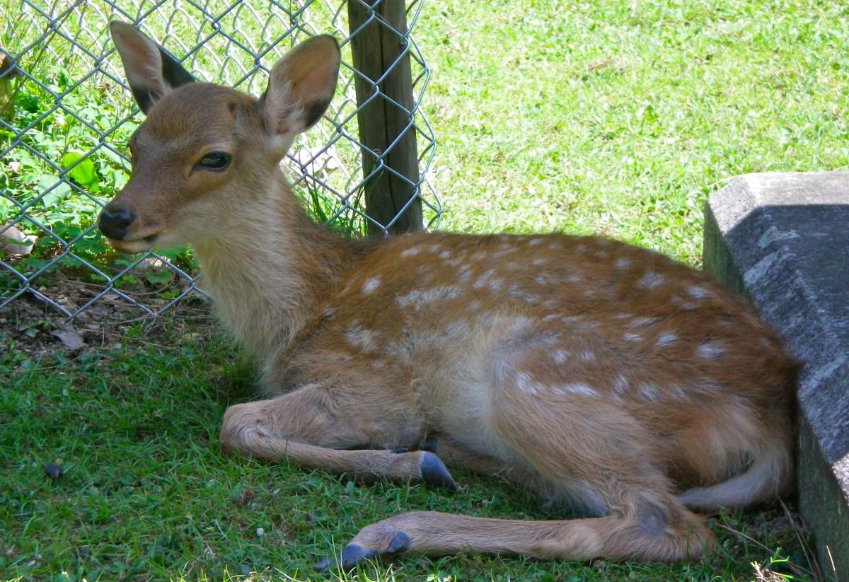 The deer of Nara Park (c) A Harrison