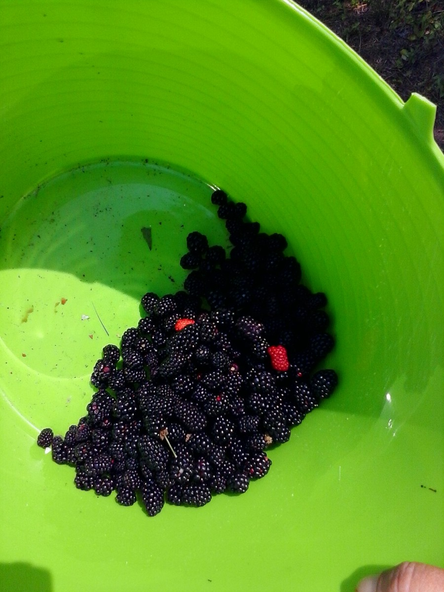 Yummy Blackberries picked coming into the park