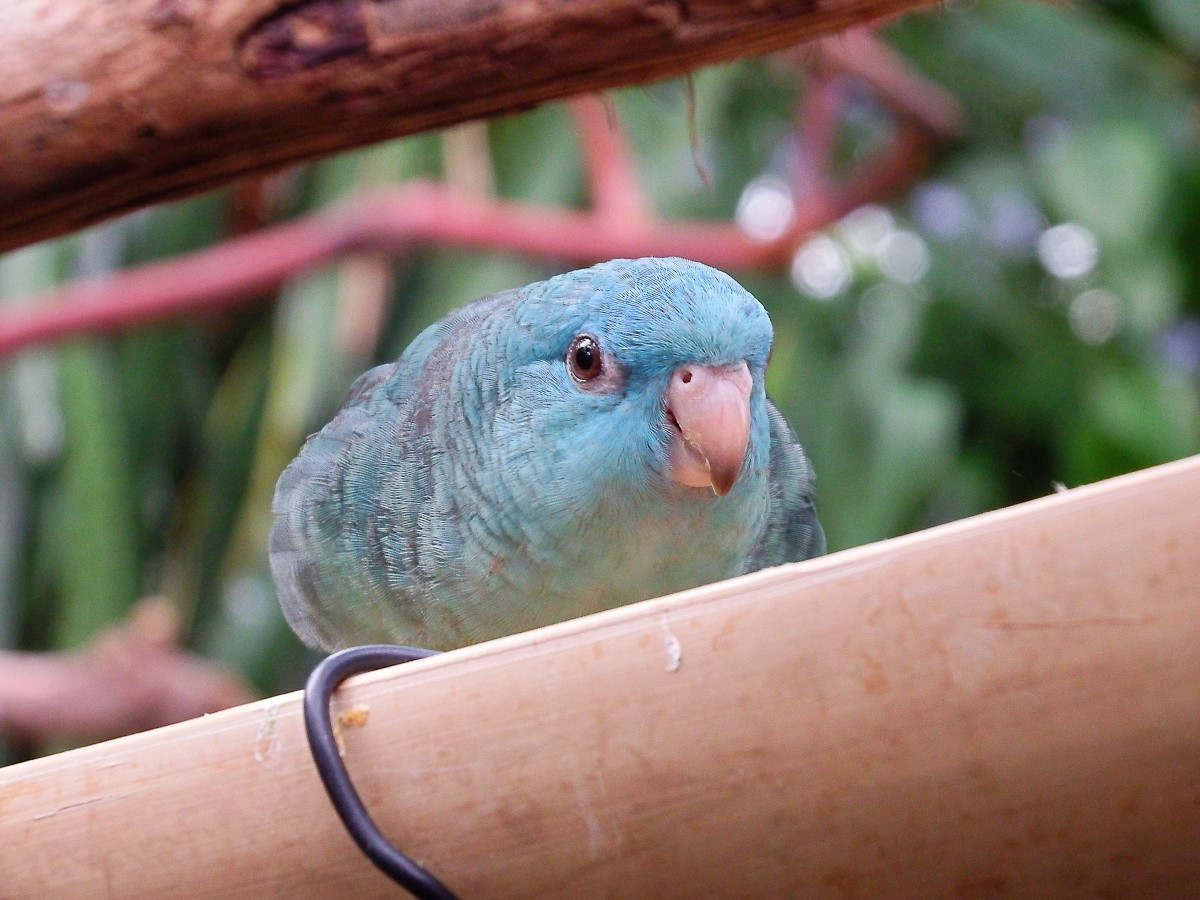Lineolated or Barred Parakeet