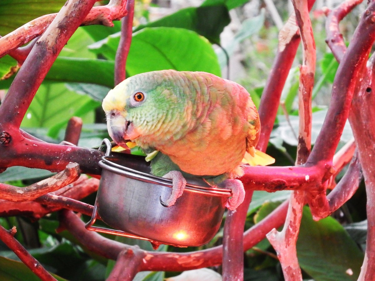 Casey, the Yellow-Crowned Amazon