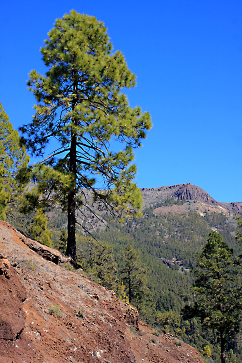 The lonesome pine - As one travels along Route TF-21 from the south, trees become sparser with greater altitude