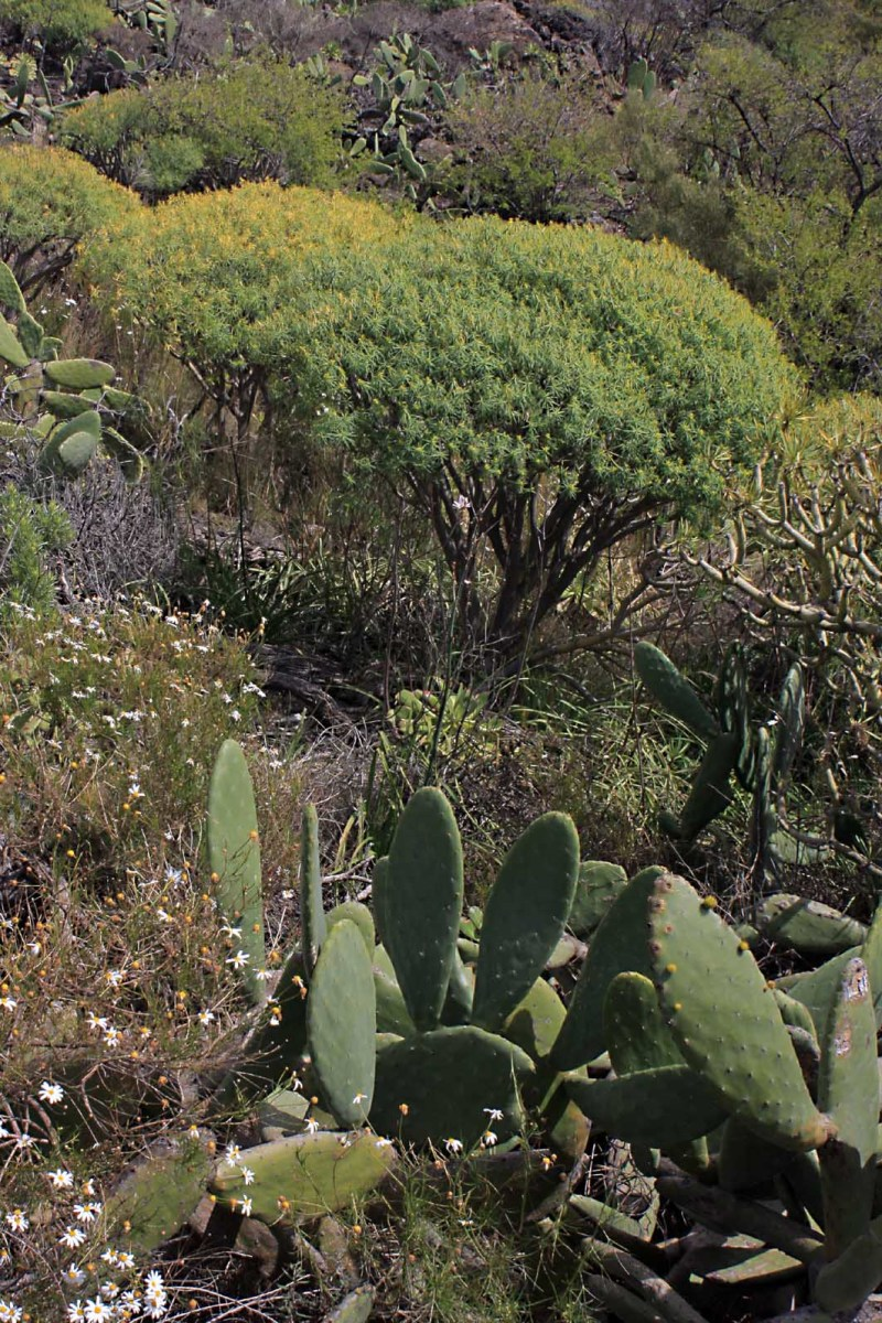 Prickly Pears (not native) and Euphorbias are typical of the lower mountains