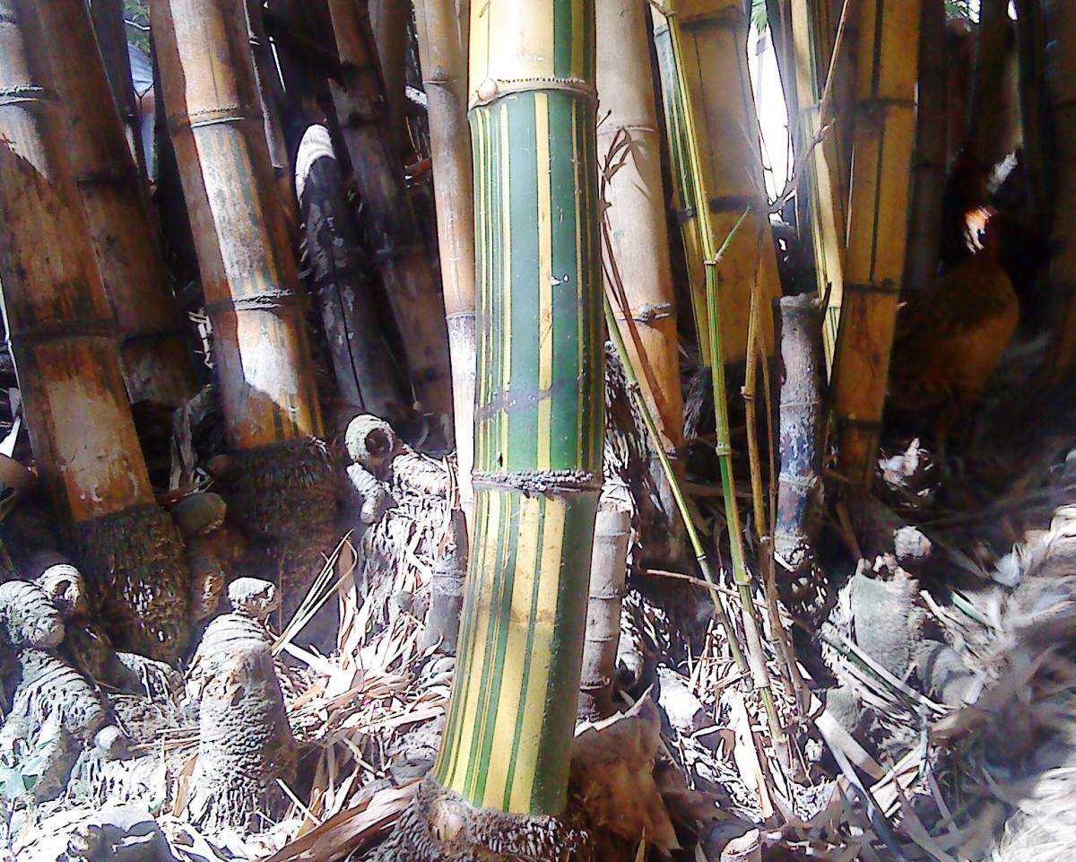 Bamboo canes.
