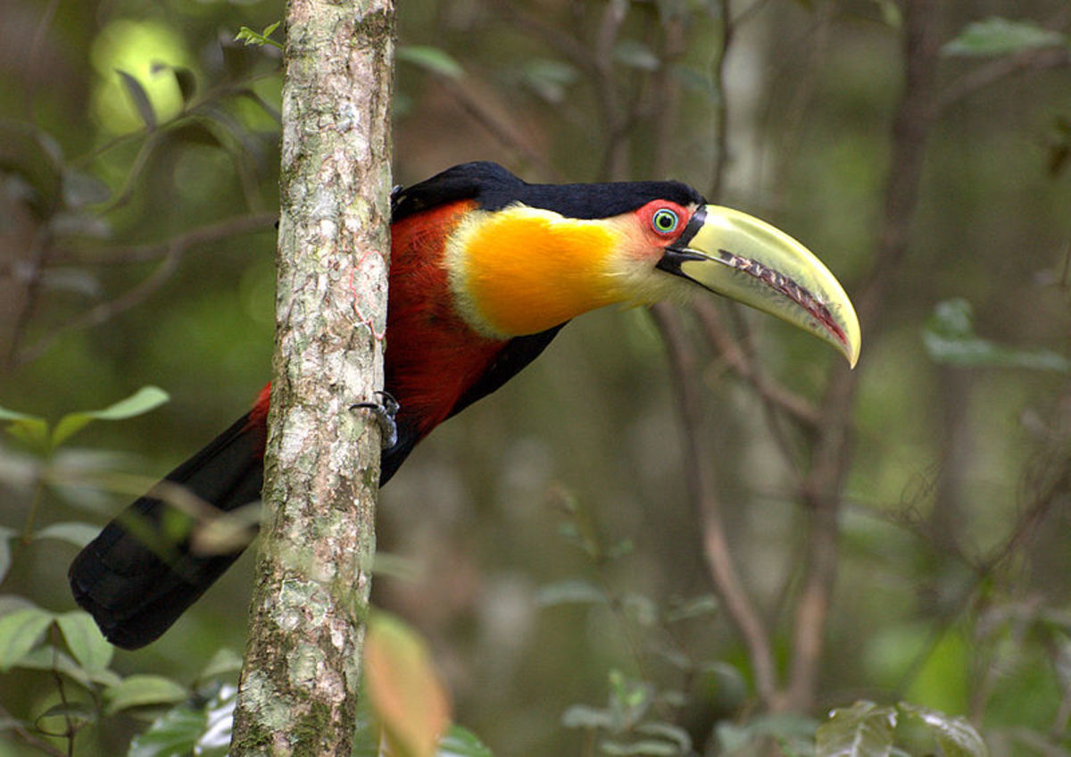 Red Breasted Toucan in Cantareira