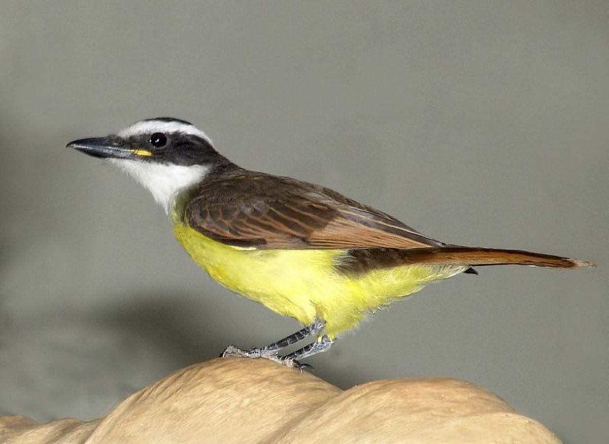 Great Kiskadee (locally called Bem-te-vi because of the call)