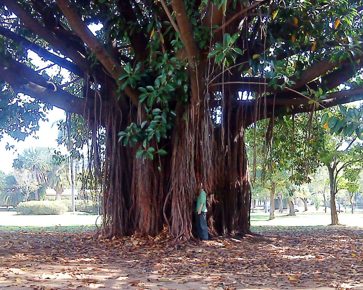A magnificent tree in Ibirapuera.