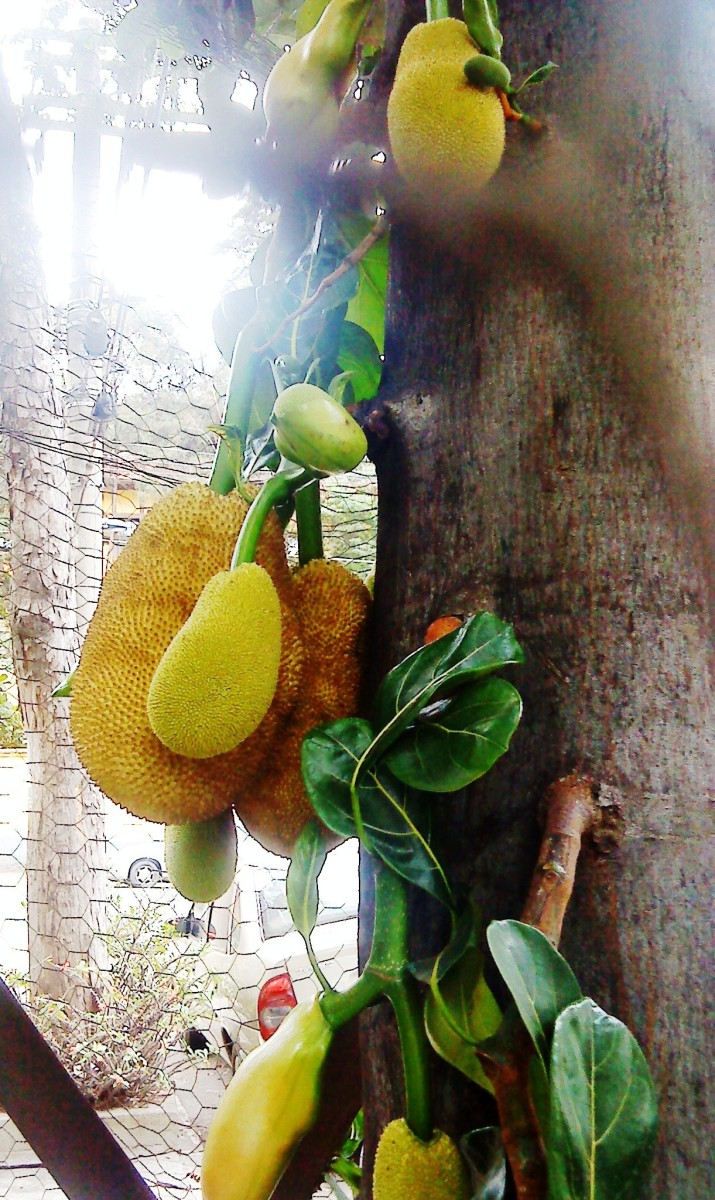 Exotic fruit on a tree in downtown Sao Paulo.