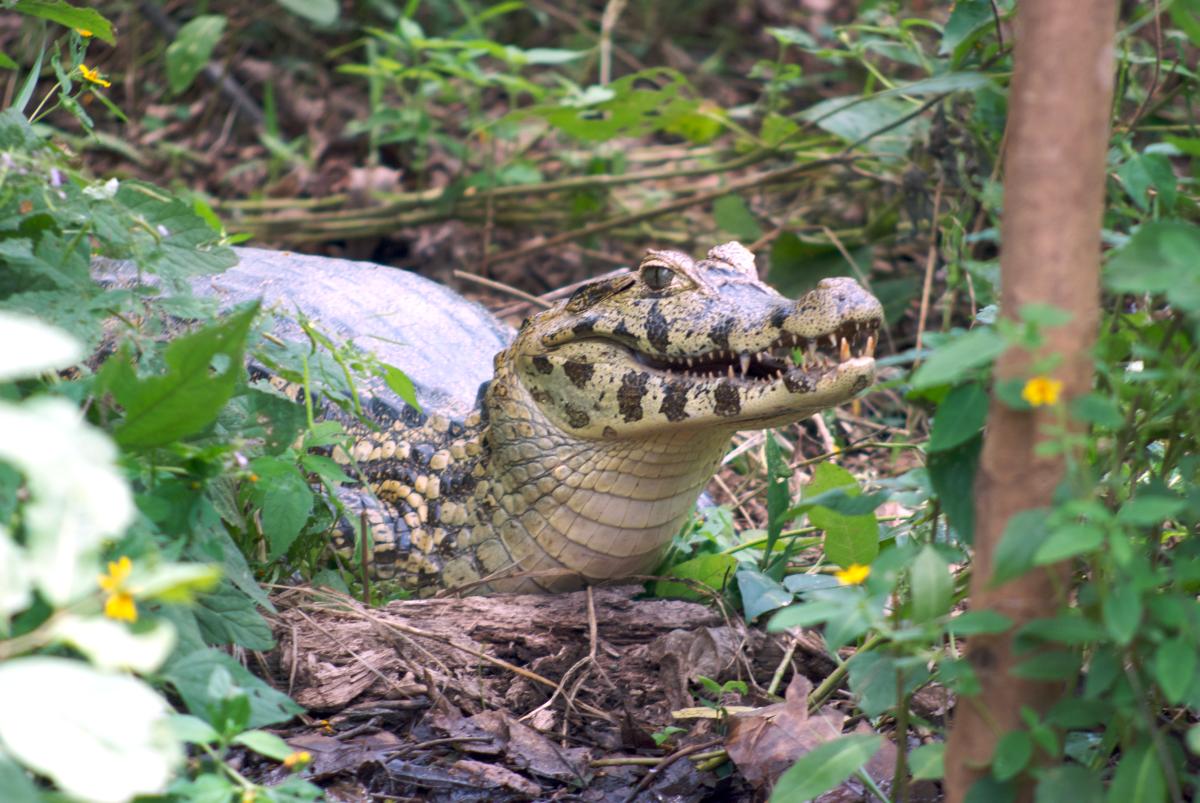 Amazonian Alligator