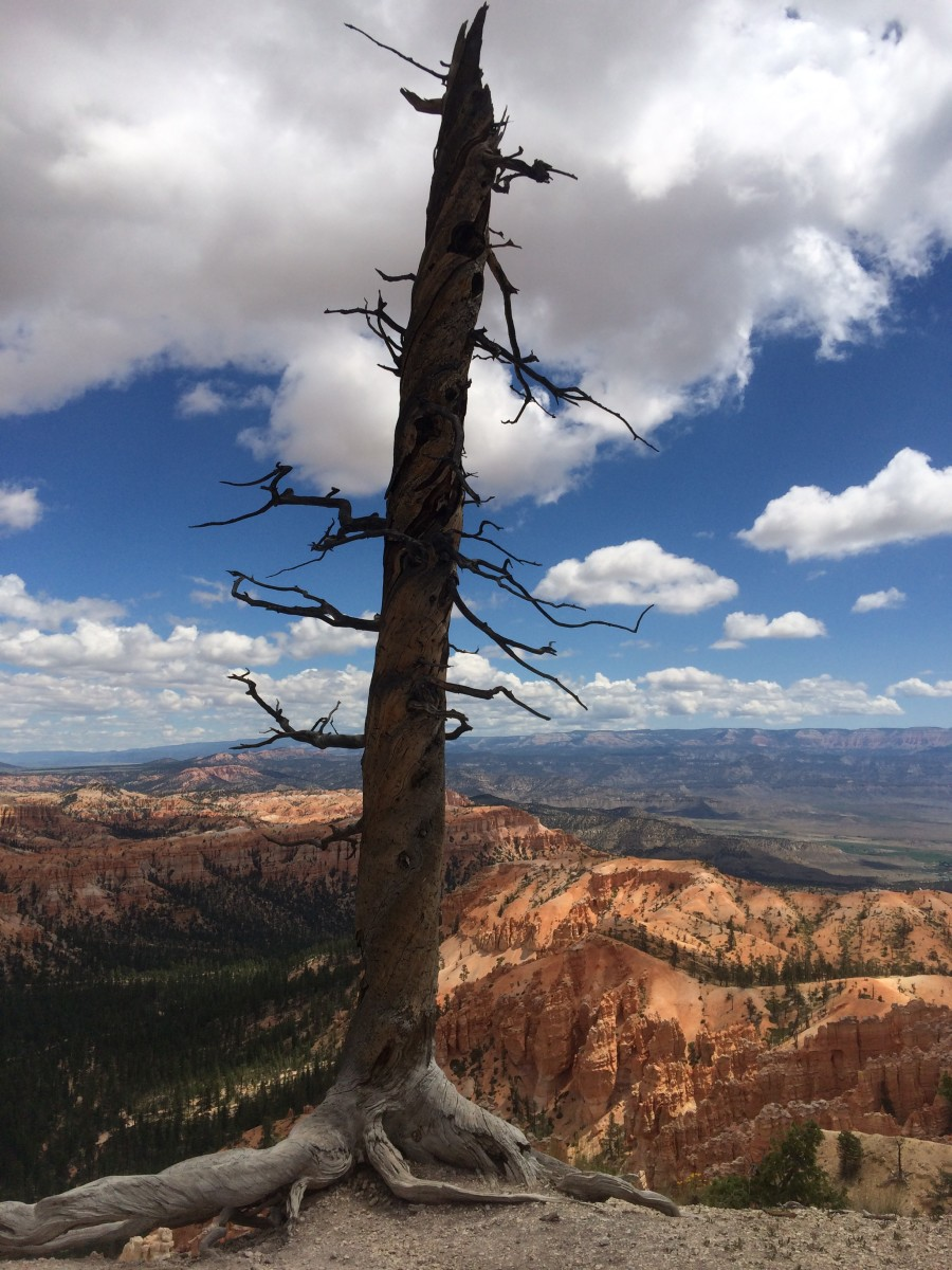An old dead tree, also referred to as a snag, on the edge of the canyon
