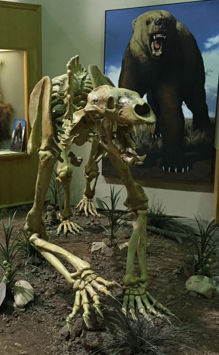 This fossilized giant short-faced bear was also found in the sinkhole.  In the background is a picture of what it looked like in life, thousands of years ago.