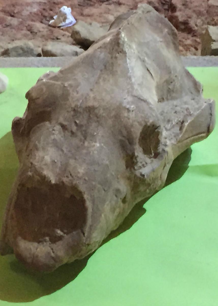 This is a fossilized skull of a giant short-faced bear on display at the Mammoth Site.  Short-faced bears were once powerful carnivores.