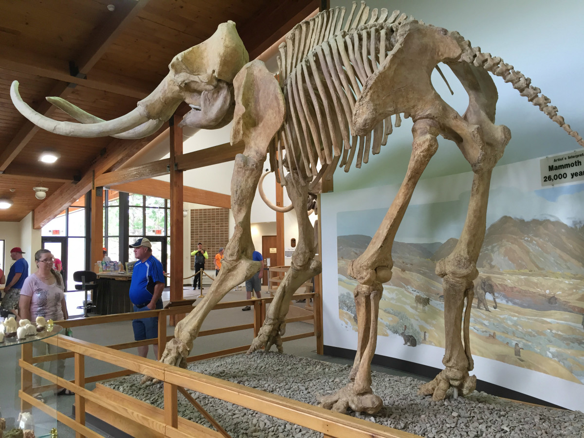 Pictured here is a replica mammoth skeleton 26,000 years in the making. The Asian elephant (Elephas maximus) is the closest living relative of the mammoths.