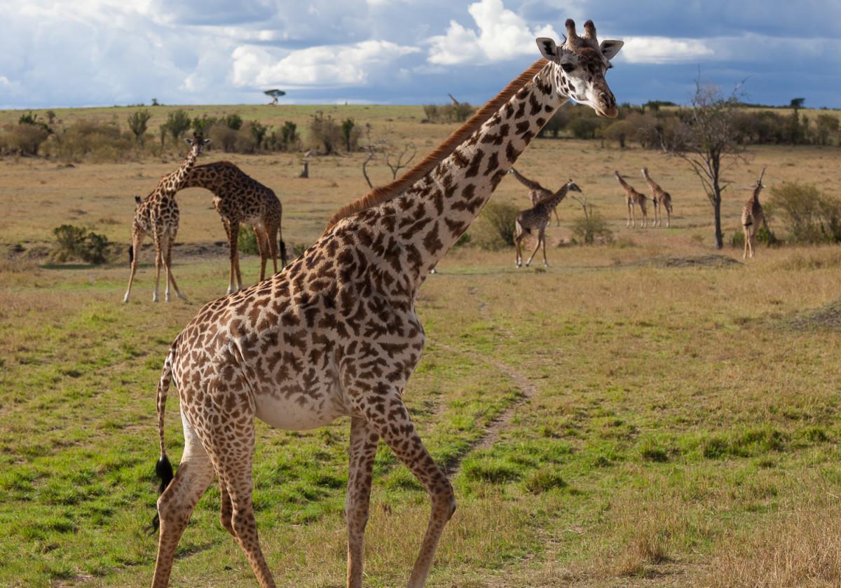 Giraffes at Maasai Mara