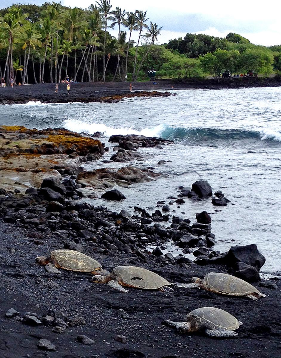 Resting sea turtles at Punaluu County Beach Park.