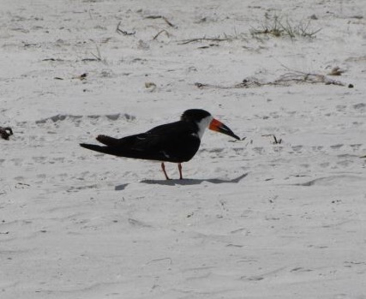 Black Skimmer on Caladesi Island