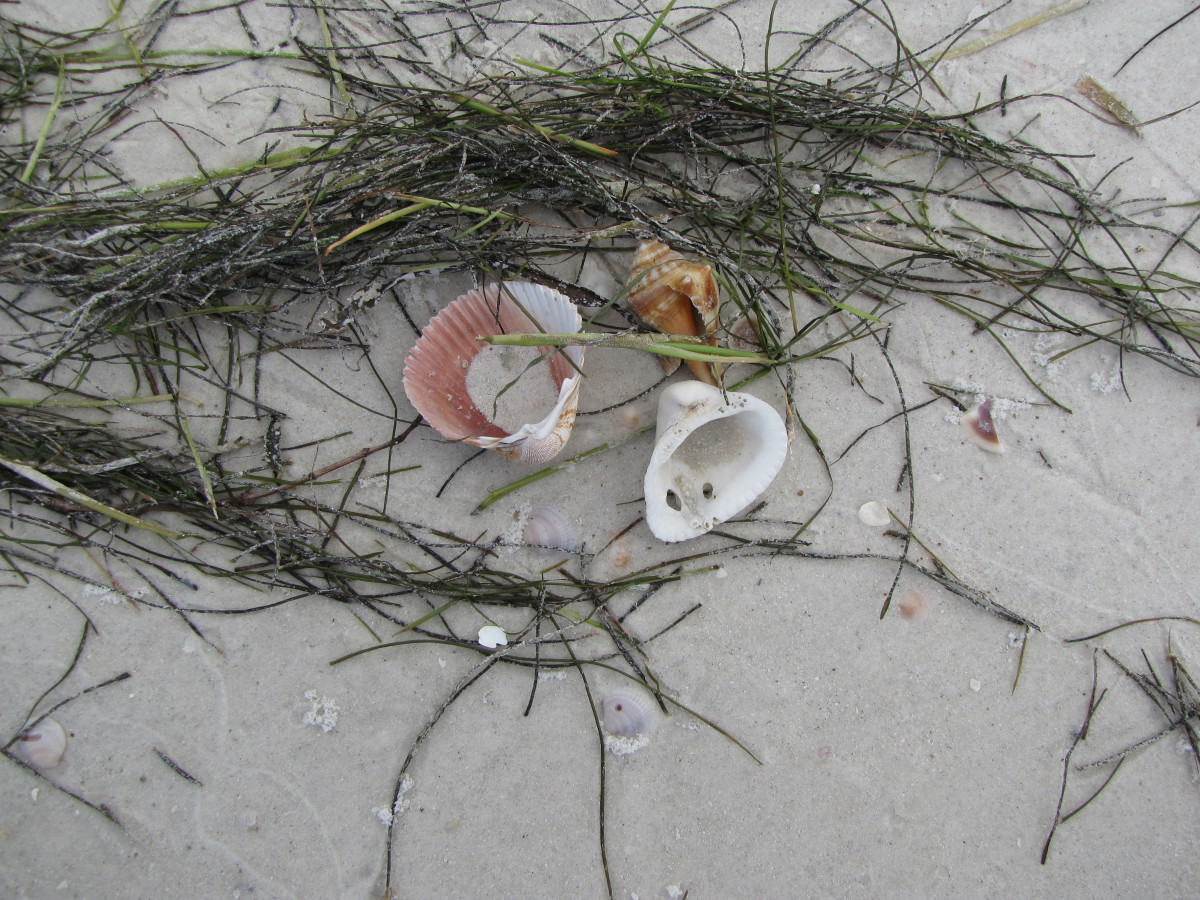 Shells on Caladesi Island