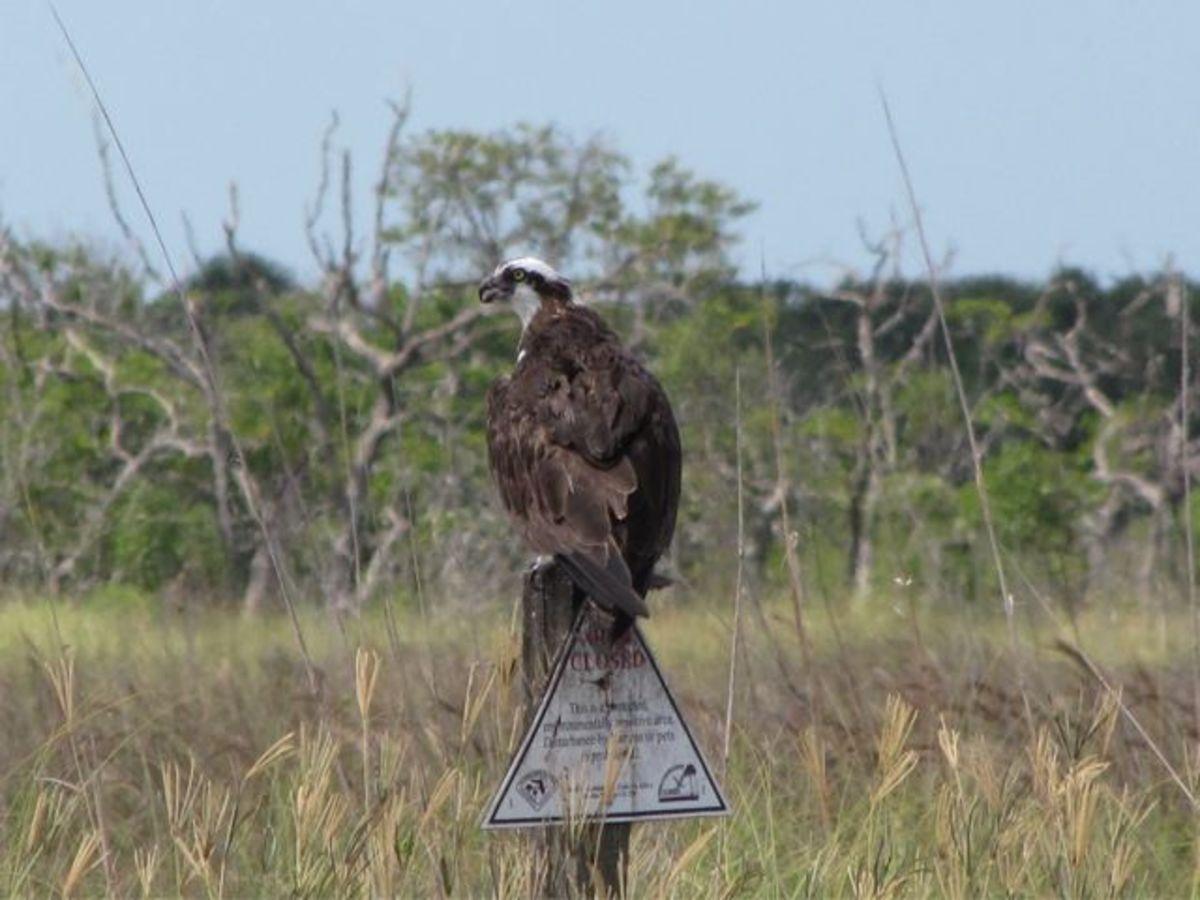 Osprey on Caladesi Island
