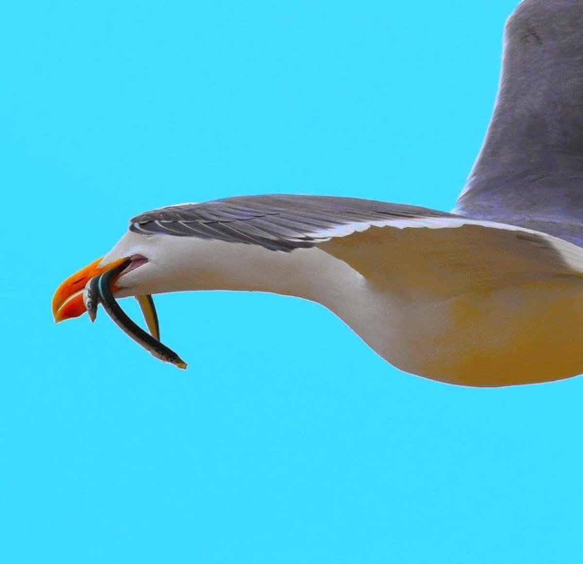 Seagull with two American eels in its mouth.