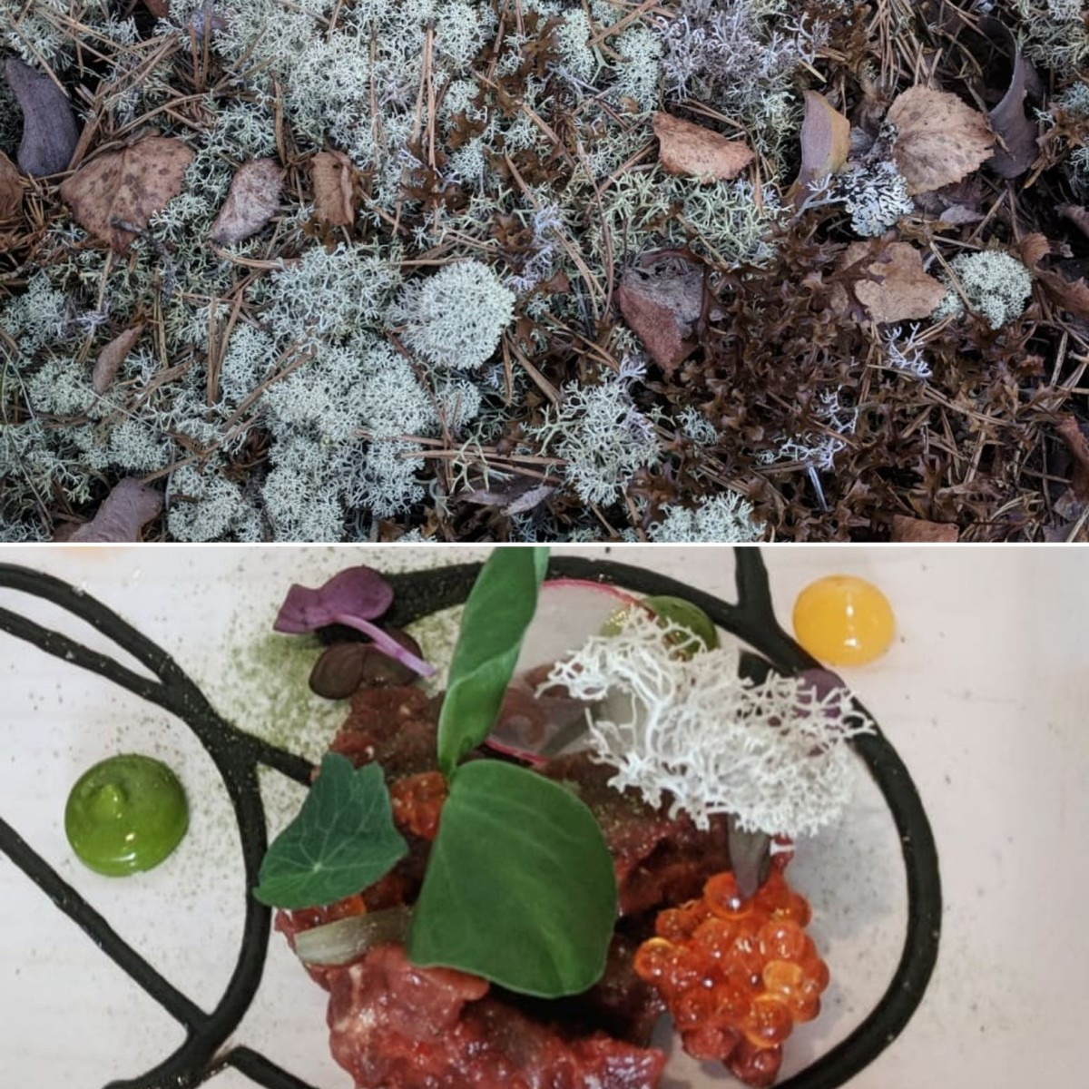 Lichens growing in the wild and a piece of reindeer lichen on top of elk tartare.