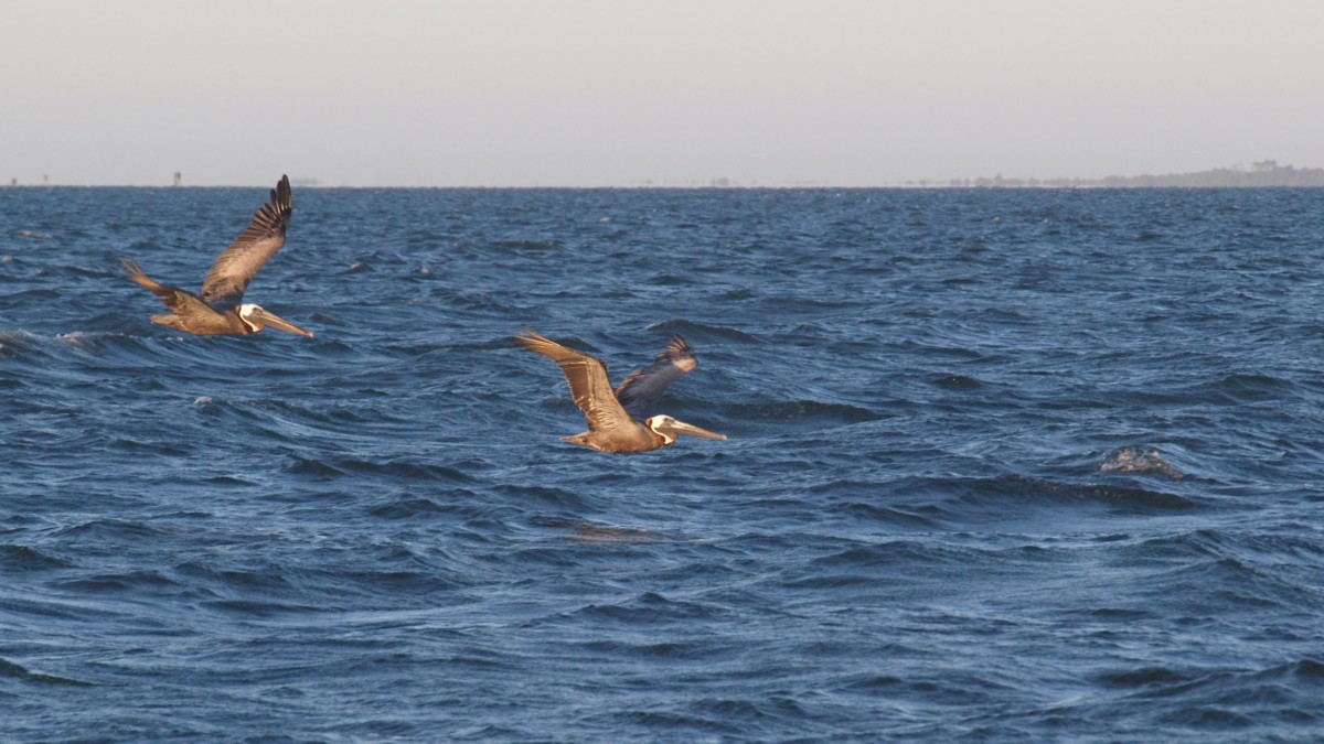 These glorious pelicans joined us on our sunset sail.
