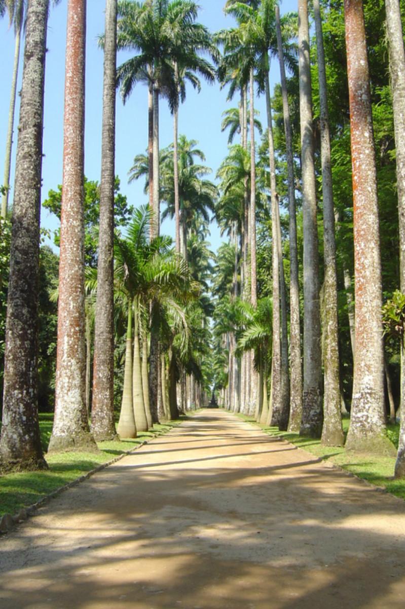 The impressive Avenue of Royal Palms stretches for half a mile through Jardim Botânico.