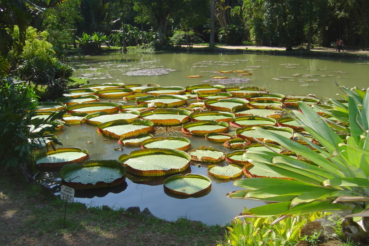 The Jardim Botânico presents small ponds full of  huge lily pads, up to three feet across.