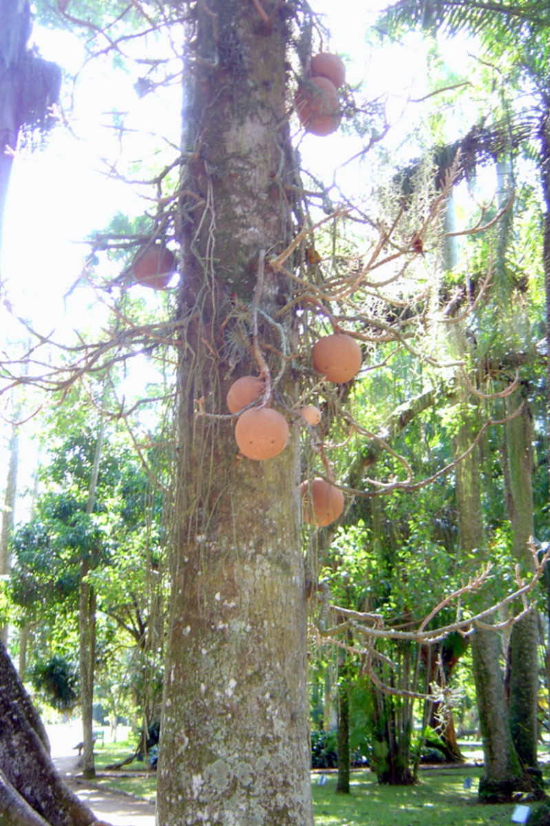 Huge seed pods on tropical trees near hostel in Botofogo, a neighborhood of Rio de Janeiro.