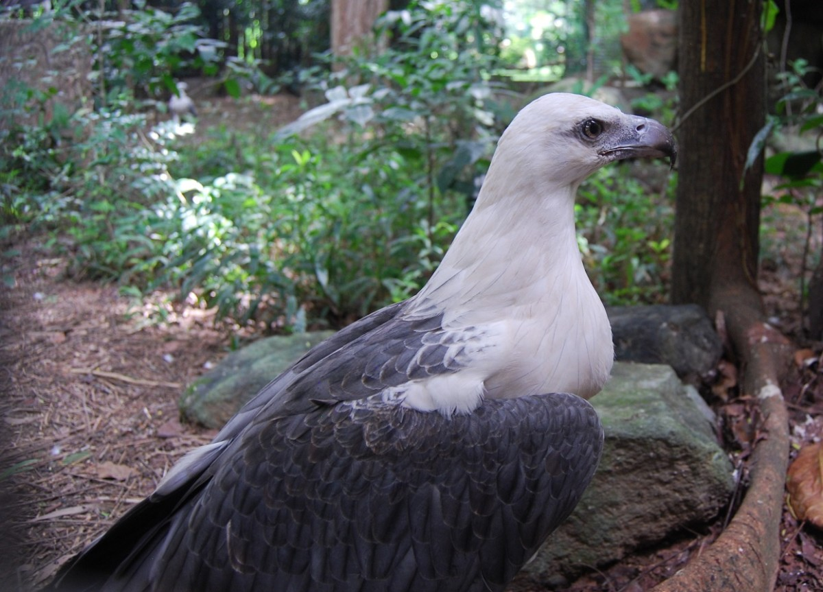 The Wildlife Center is home to many native species of bird, including the Philippine Eagle... and no, this isn't it. This is a gorgeous White-Bellied Sea Eagle.