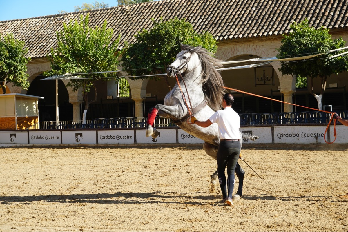 Andalusian horses during their practice session