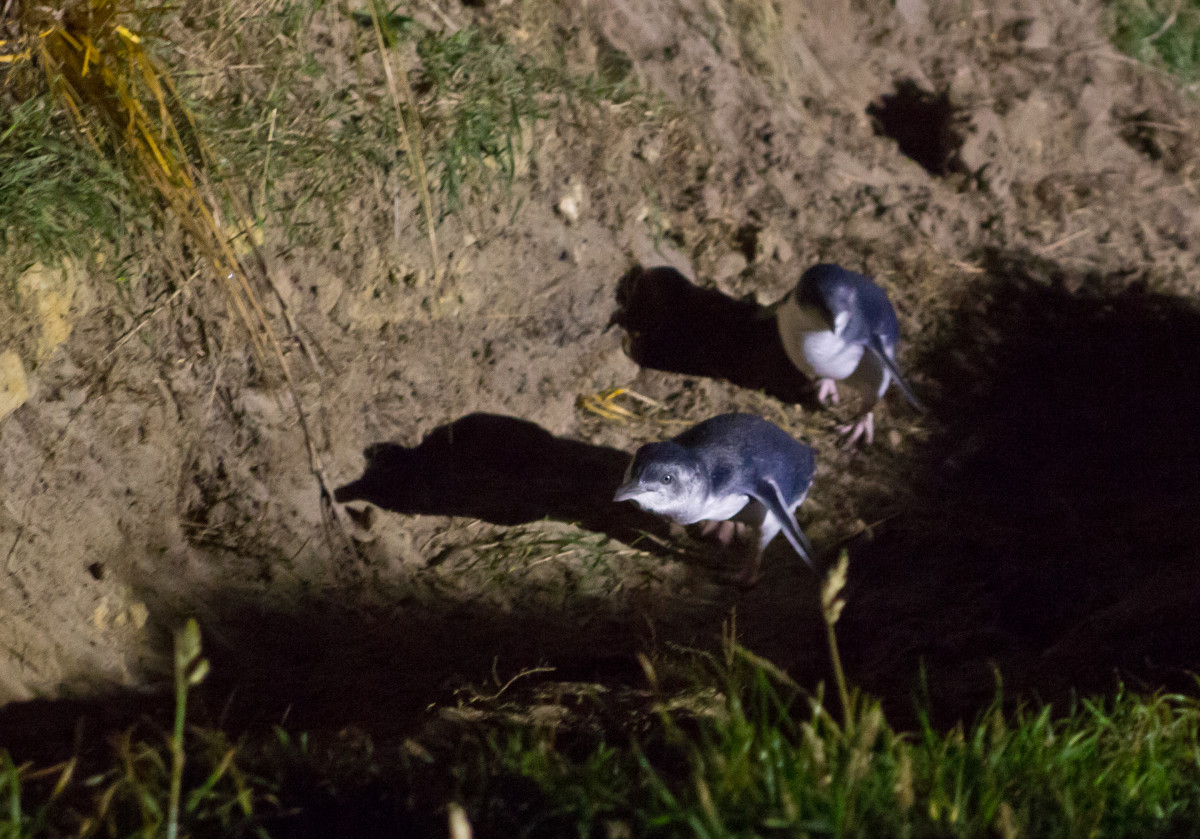 The little blue fairy penguins come back to shore after a day at sea.
