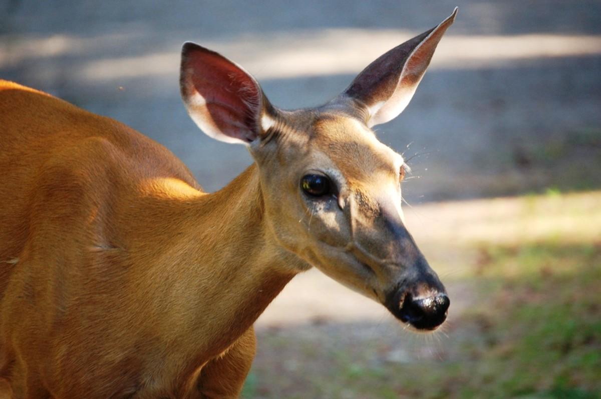 Deer @ Sleeping Giant Provincial Park, Ontario, Canada
