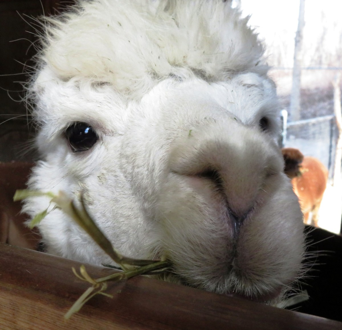 Alpaca at NEW Zoo in Green Bay, Wisconsin