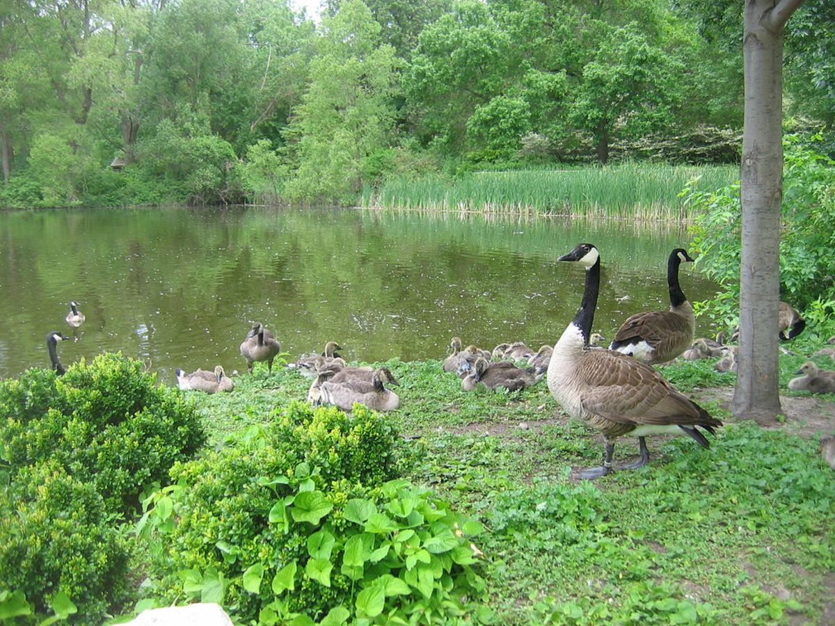 Canadian Geese at Bay Beach Wildlife Sanctuary  at Green Bay, Wisconsin