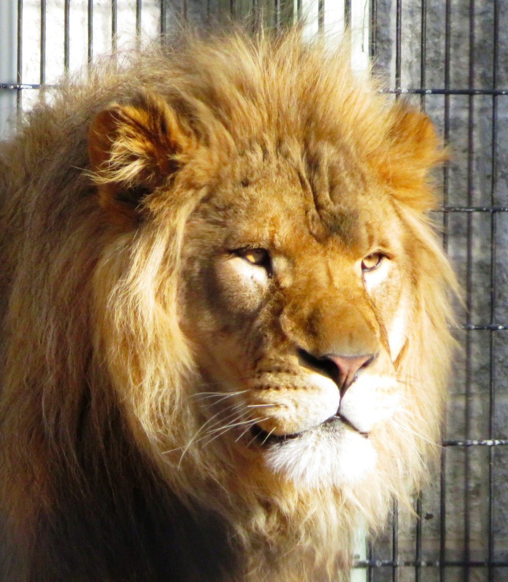 Lion at NEW Zoo in Green Bay, Wisconsin