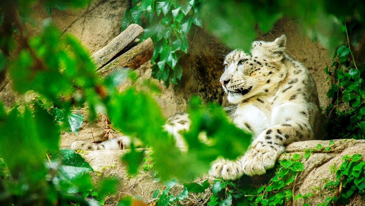 Snow Leopard at Lincoln Park Zoo in Chicago, Illinois