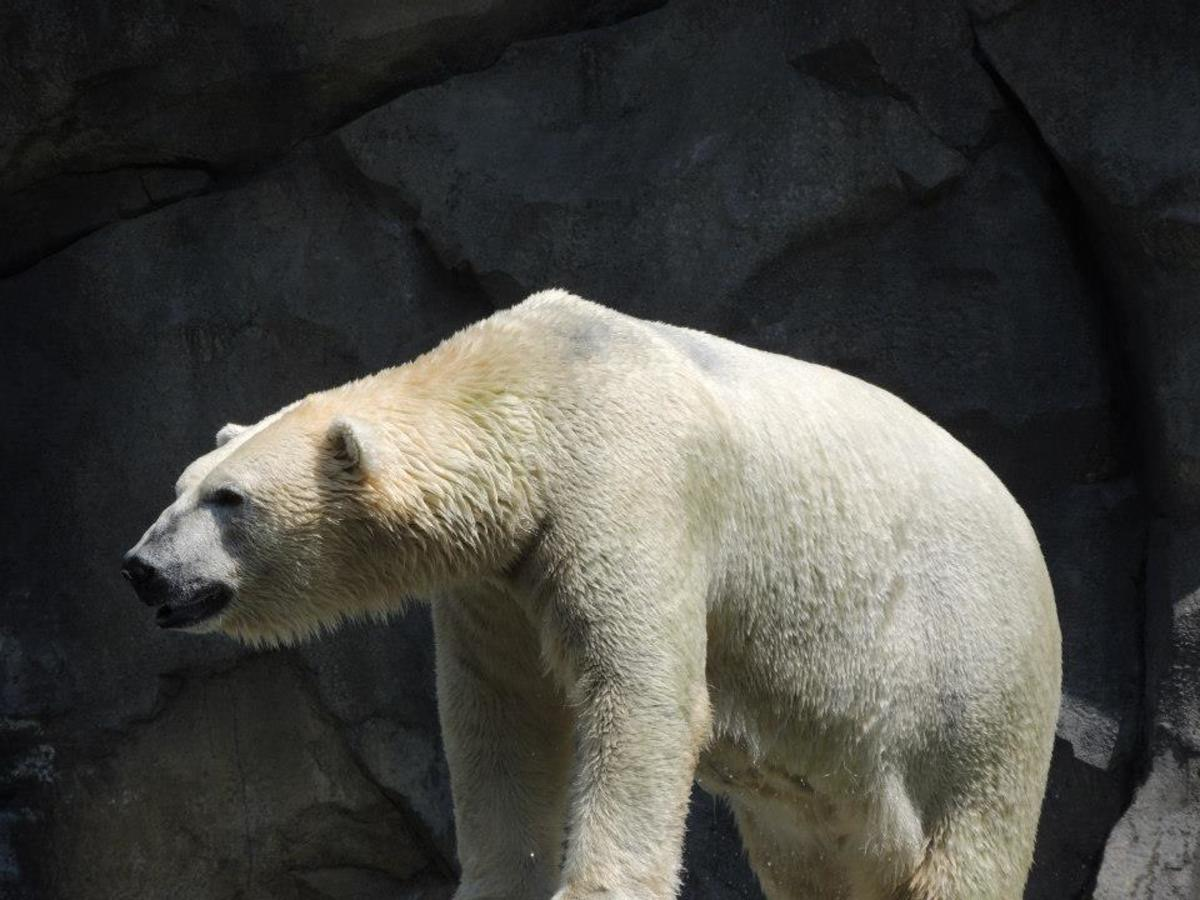 Polar Bear at Brookfield Zoo in Chicago, Illinois
