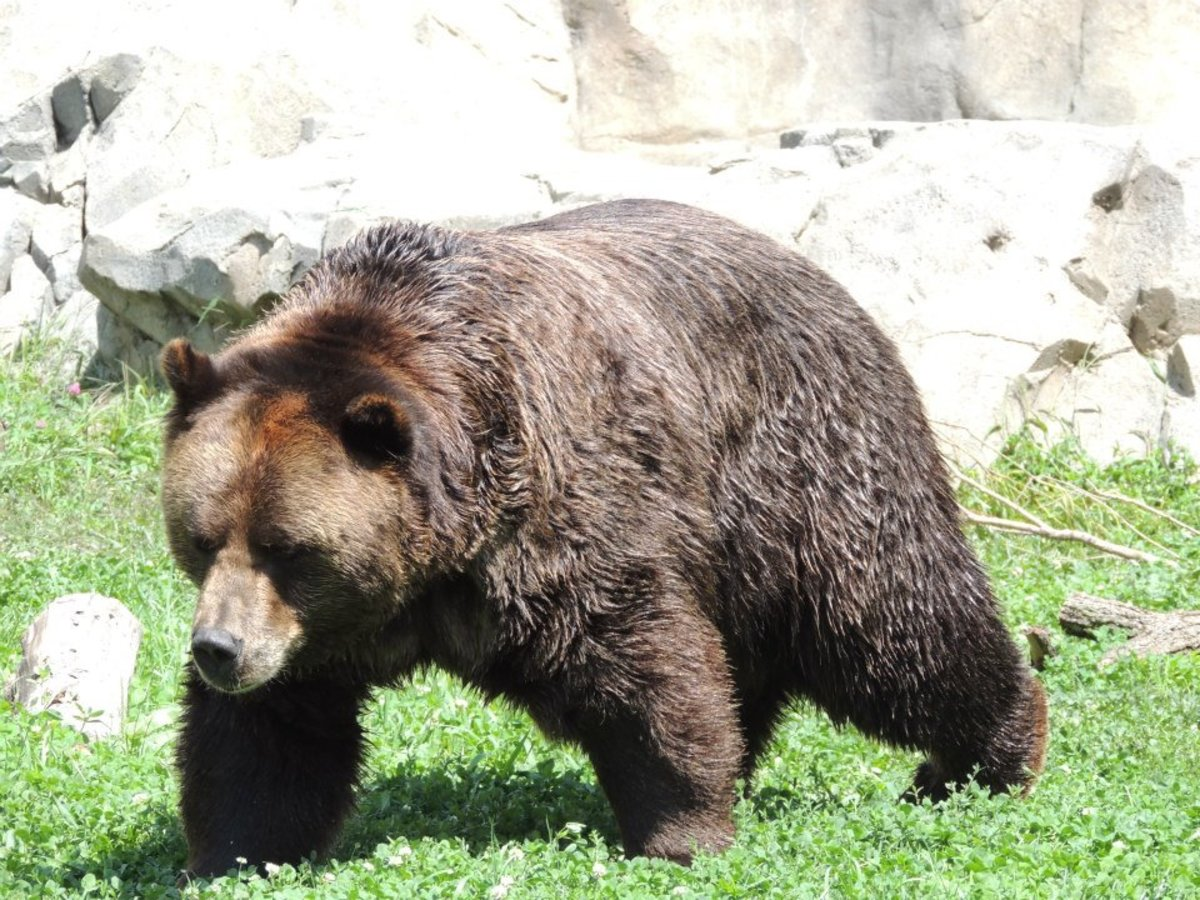 Grizzly Bear at Brookfield Zoo in Chicago, Illinois