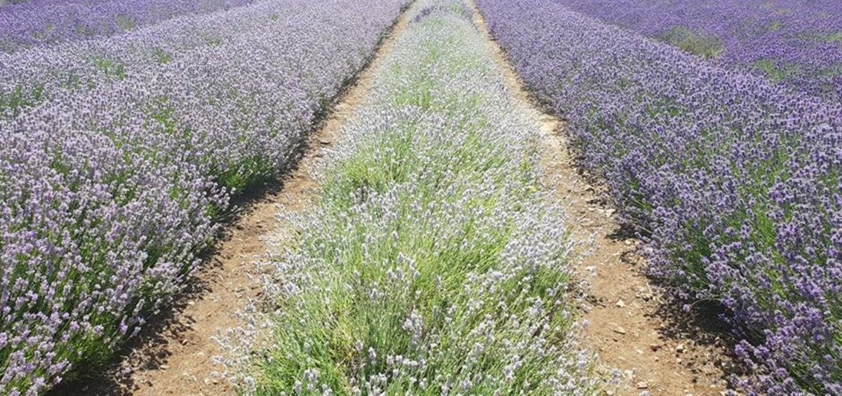 Rows of different lavender varieties paint a tapestry of colour for the eye at Cotswold Lavender, near Snowshill.