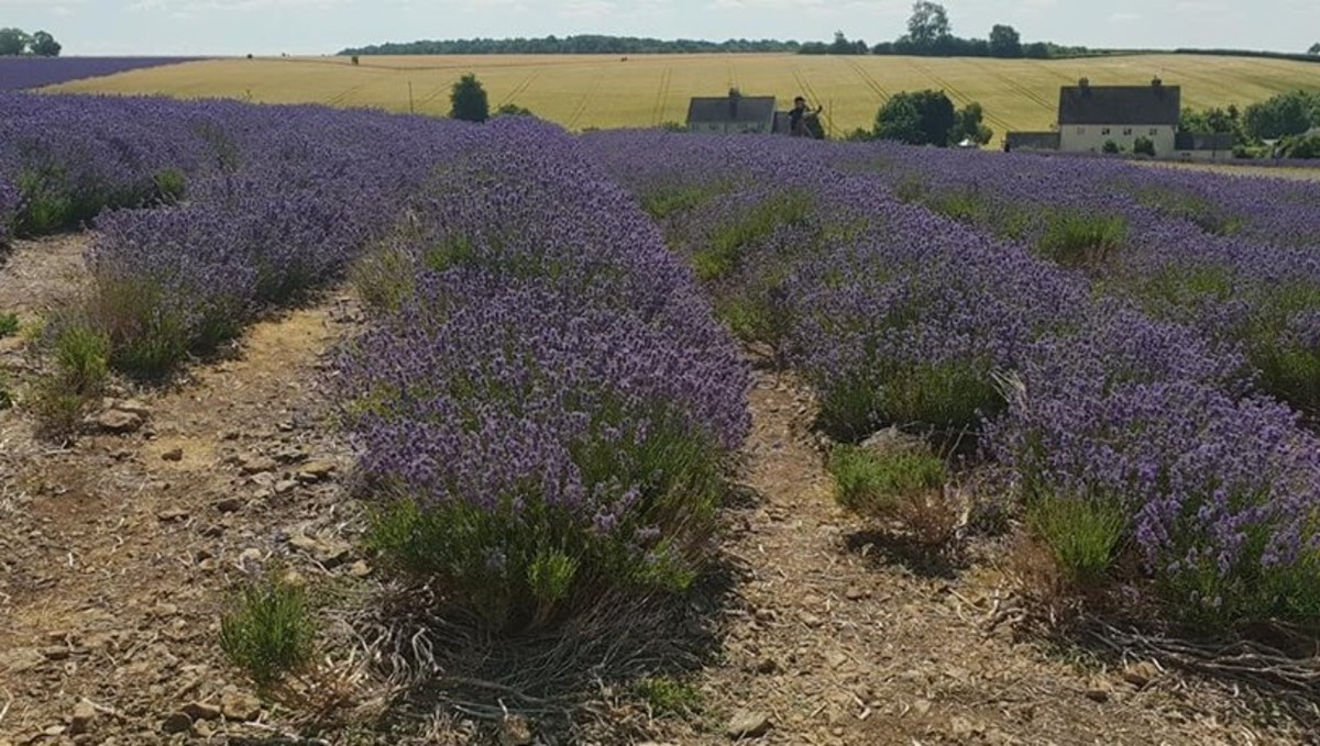 Cotswold Lavender carefully manage their crops to ensure the best quality