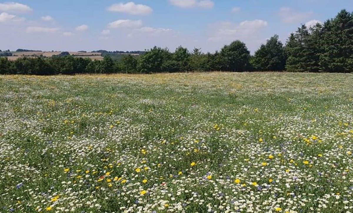 Wildflower meadow at Cotswold Lavender