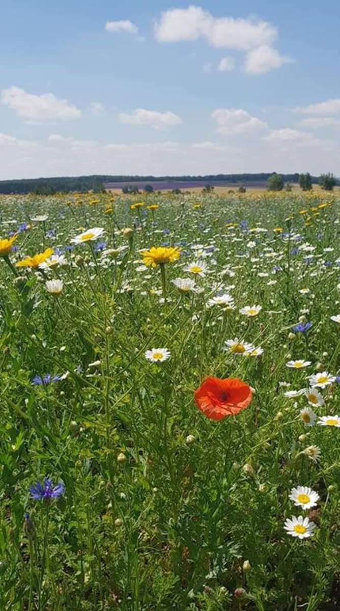 Stunning Cotswold Wildflowers