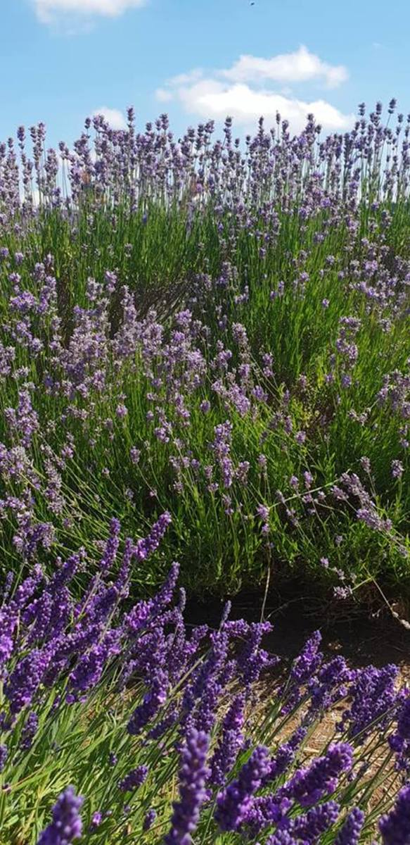 Heaven for Bees at Cotswold Lavender