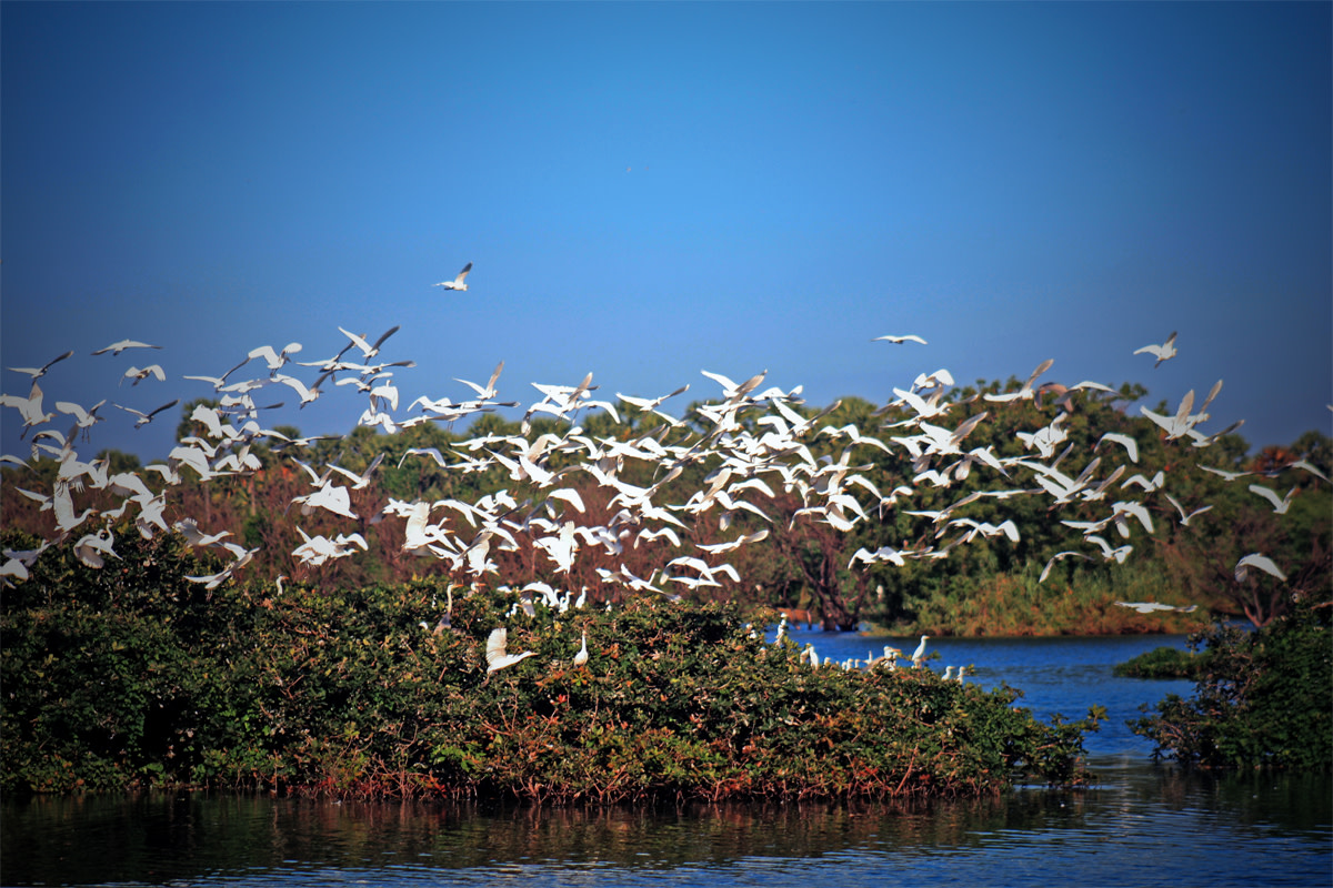 The Nesting Birds at Vedanthangal Lake