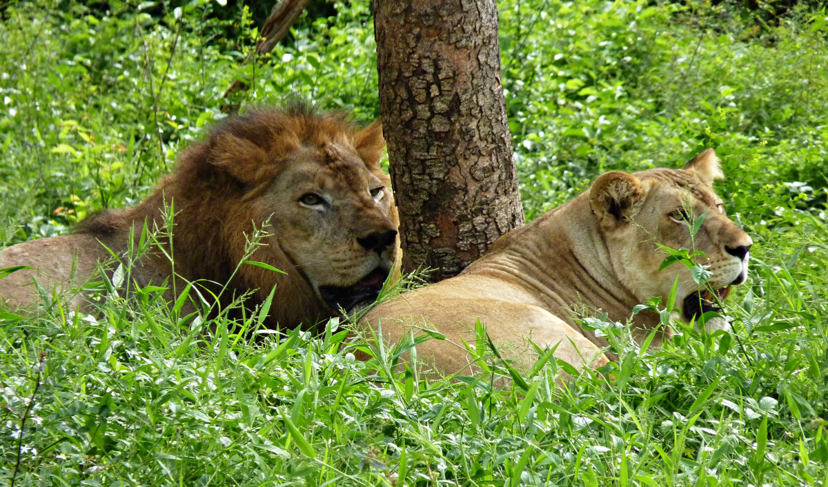 A pair of lions at Vandalur Zoo
